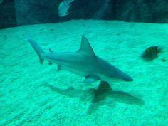 Sand bar shark - Sea Aquarium SINGAPORE