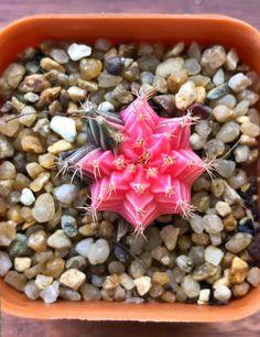UK Seller UK Cactus seeds Multi Coloured cactus Seeds Garden Plant