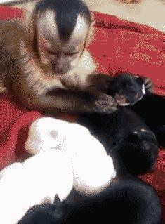 cute-gif-monkey-petting-puppies