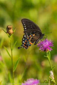 Photo Butterfly on Wildflower by Paul Sikorski on 500px