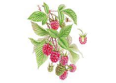 Watercolor Raspberry by Natalia Tyulkina Watercolor Fruit, Bullet Journal Inspiration, Kitchen Art, Botanical Illustration, Quilling, Rooster, Raspberry, Berries, Behance