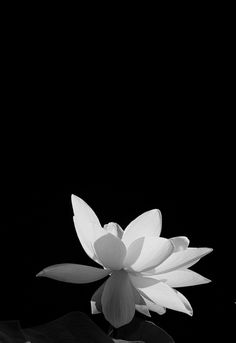 The fatal gift of beauty noir et blanc pinterest lotus water life now i know the secret of the lotus flower lt mightylinksfo