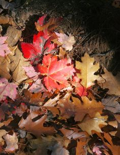 Sense and Simplicity - spotlight on the red maple leaves