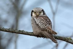 Northern hawk owl by Tony Andersson
