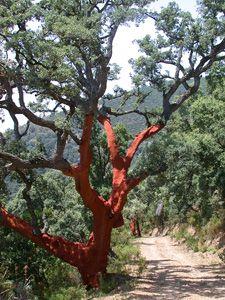 Chêne-liège en Corse