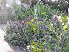 Nepeta grows great with Euphorbia and bearded Iris.