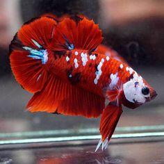 Fish Gallery, Betta Fish Types, Betta Aquarium, Beta Fish, Siamese Fighting Fish, Live Fish, Beautiful Fish, Goldfish, Fish Tank