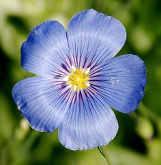 One more blue flax flower... | by RockDock