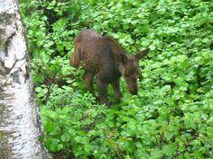 Baby moose near Anchorage