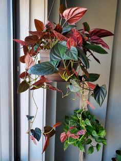 It's time to grow that indoor garden! Red Plants, Exotic Plants, Cool Plants, Live Plants, Garden Plants, House Plants Decor, Plant Decor, Arrowhead Vine, Best Indoor Plants