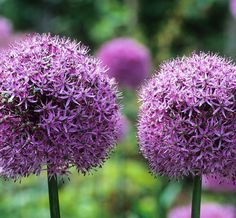 Sarah Raven's top tips on how to plant and grow allium bulbs for fantastic flowers in the garden and vase.