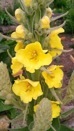 Bylinkové čaje a směsi   Bylinky pro radost - Part 3 Herb Garden, Home And Garden, Edible Flowers, Life Is Good, Flora, Remedies, Herbs, Homemade, Tea