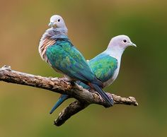 Green Imperial Pigeons,  forests of S Asia