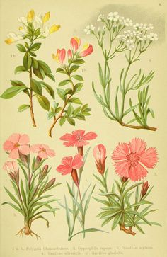 """Plate 8 from """"Alpen-Flora für Touristen und Pflanzenfreunde"""" by Julius Hoffmann and Hermann Friese; Stuttgart: Verlag für Naturkunde Sprösser & Nägele,1904"""