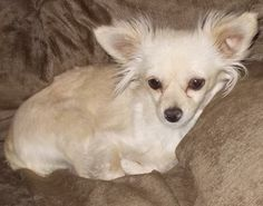 Meet Glenda--lucky to be alive! a Petfinder adoptable Chihuahua Dog | Phoenix, AZ | Come meet some of our fabulous dogs this weekend at Pet Club, located on the Southeast corner of...