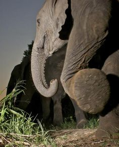 Only a camera-trap could get beneath an elephant to take this image – Greater Kruger Park. - © Kurt Jay Bertels