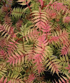 Sorbaria, Sem    Easy to grow in well-drained soil, in full sun to part shade. Perennial  Zone: 3-7  Sun: Full Sun, Part Sun  Height: 3-4  f