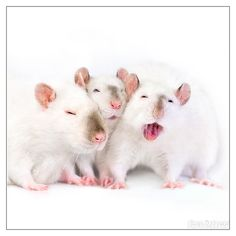 Sleepy ratties    http://rattenfee.tumblr.com/post/32866407044/the-milky-rats-2-by-dianephotos