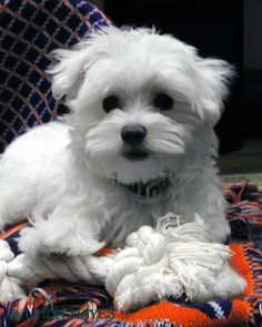 Teacup Maltese For Adoption | Teacup Maltese puppies for adoption - Dogs, Puppies - Pets & Animals ...