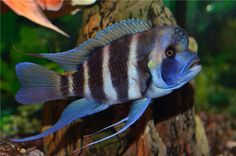 The frontosa is big, vivid, territorial and demanding fish. Find out more on how to care frontosa, feed it, choose tank mates, breed in this complete guide.