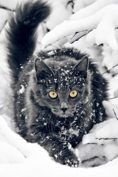 Beautiful black cat piercing through the snow Cool Cats, I Love Cats, Big Cats, Cats And Kittens, Tabby Cats, Pretty Cats, Beautiful Cats, Animals Beautiful, Cute Animals