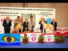BEST IN SHOW  RAZAS ESPAÑOLAS EXPOSICION INTERNACIONAL PRIMAVERA MADRID...