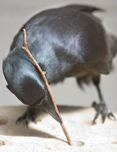 "Crows Ravens:  Canny #crows know their tools. Called ""feathered apes"" for their simian-like smarts, crows use tools, understand physics, and recognize themselves and humans. But new research suggests that the brainy birds may be even smarter than was previously thought. Given a complex problem and an assortment of tools, New Caledonian crows came up with a creative solution that hints at higher-order thinking."