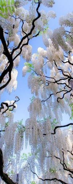 White wisteria in Japan. #garden #flowers