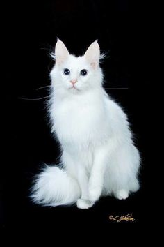 Most Popular Long Haired Cat Breeds - Samoreals Turkish Angora Cat, Angora Cats, Warrior Cats, Beautiful Cat Breeds, Beautiful Cats, Long Hair Cat Breeds, Cats And Kittens, Ragdoll Kittens, Animals