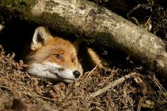 Almost forgot a #Foxyfriday pic. Rosie enjoying the sun. Have a great weekend.