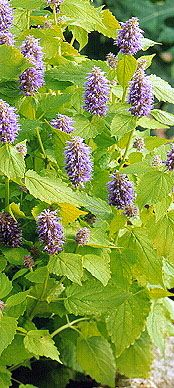 Agastache foeniculum 'Golden Jubilee' perennial, SUN, blooms second year, from 2012 seed exchange