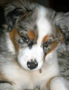 Shiloh the australian shepherd