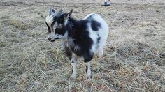 Goats, Animals, Animales, Animaux, Animal, Animais, Goat