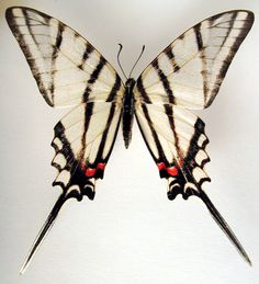 zebra wing butterfly - Google Search