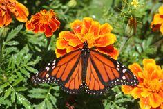 fae71c9d0 2010 Monarch Butterfly on orange Marigold Monarch Butterfly, Marigold,  Tatoos, Butterflies, Papillons
