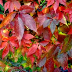 Autumn Vine in Red