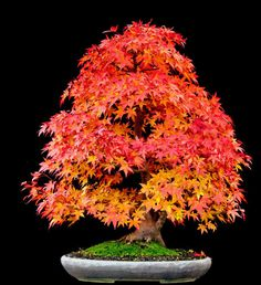 I think the first bonsai I'd like to try cultivating is a Japanese maple. Just look at that color!