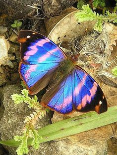 One of the most amazing creatures we see in the garden is the beautiful Butterfly. Butterfly Kisses, Butterfly Flowers, Butterfly Wings, Blue Butterfly, Flying Insects, Bugs And Insects, Beautiful Bugs, Beautiful Butterflies, Beautiful Creatures