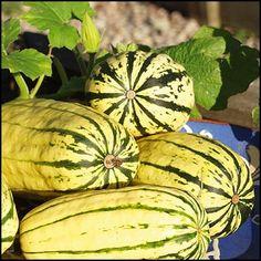 CUCURBITA pepo L. 'Delicata' Kurpitsa Kulttuuriperintö vuodelta 1894. Kermankeltaiset, 20 cm pitkät hedelmät, joissa on vihreitä raitoja. Tummanoranssi malto. Sopii mainiosti uuniruokiin. Erinomaiset varastointiominaisuudet. Voidaan varastoida 2–3 kk. 7 siementä.