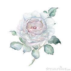 Hand drawn watercolor Rose isolated on white background. Great for creating vintage designs or wedding and greeting cards