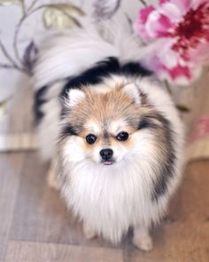 Marvelous Pomeranian Does Your Dog Measure Up and Does It Matter Characteristics. All About Pomeranian Does Your Dog Measure Up and Does It Matter Characteristics. Cute Puppies, Cute Dogs, Dogs And Puppies, Doggies, Cute Pomeranian, Pomeranian Colors, Baby Animals, Cute Animals, Save A Dog