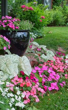 My favorite combination of shade plants. Impatience and caladium
