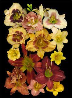 Yellow g.  (Russ's Daylilies #1)