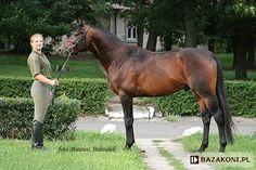Małopolski - stallion Dąbek