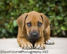 Our next puppy... Rhodesian Ridgeback