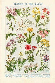 1938 Antique flower art print, FLOWERS Of The SEASIDE, double sided floral bookplate prints, botanical flower art illustration