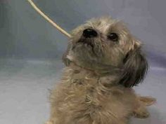 ♡ MY LIFE MATTERS ♡ NONI – A1065751  **DOH -B 02/21/16**  FEMALE, TAN, SHIH TZU / LHASA APSO, 6 yrs STRAY – ONHOLDHERE, HOLD FOR DOH-B Reason BITEPEOPLE Intake condition EXAM REQ Intake Date 02/21/2016, From NY 11101, DueOut Date03/02/2016