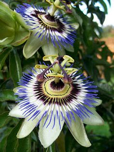 Passion Flower. Never seen a flower so whimsical!