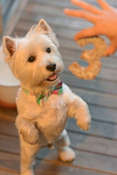 Picture of Kyotofu (Kyo), Westie.