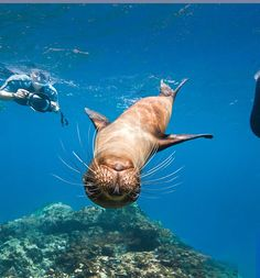 Playful sea lions, fearless boobies and the only ocean-going lizards in the world -- the Galapagos offer experiences for naturalists and tourists alike. Casablanca, Galapagos Islands, Mundo Animal, Underwater World, Photo Instagram, Ocean Life, Marine Life, Sea Creatures, Under The Sea